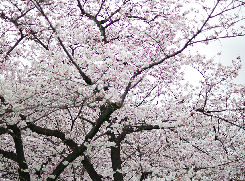 桜が最高に綺麗